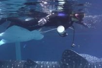 Whale_Shark_manta_ray_korsgaard_atlanta